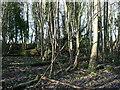 TQ3210 : Woods at Flint Heap by Paul Gillett
