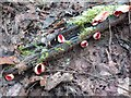 SO6866 : Hanley Dingle, Scarlet Elf Cup (Sarcoscypha coccinea) by mike