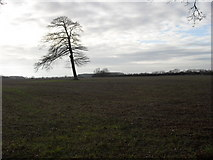 SP2604 : Lone tree in the field by andrew auger