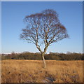 SN7064 : Solitary tree in Cors Caron Nature Reserve by Rudi Winter