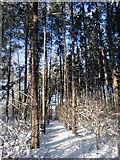 TQ2996 : Pine Wood in Trent Park, London N14 by Christine Matthews