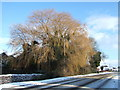 TF4107 : Golden willow by Richard Humphrey