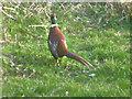 SN1306 : Pheasant in my garden by Pauline Evans