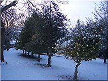 TQ7668 : Three Holly Trees in Town Hall Gardens by David Anstiss