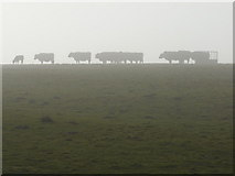 SK3069 : Cows in silhouette by Peter Barr
