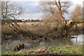 SP3674 : Collapsed willow by the Avon by Robin Stott
