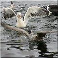 HU4643 : Gulls fighting over food at Shetland Catch pier, Lerwick by Mike Pennington