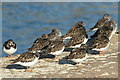 NJ1469 : Turnstones (Arenaria interpres) on the harbour wall by Des Colhoun