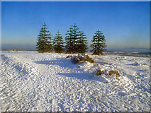 SO2656 : Stand of monkey puzzle trees by Trevor Rickard