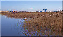 NS4870 : Reeds at Newshot Island, River Clyde by wfmillar