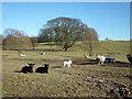 SD5375 : Sheep and lambs, Dalton Park by Karl and Ali