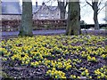 NU1201 : Winter aconites (Eranthis hyemalis), Embleton Hall, Longframlington by Andrew Curtis