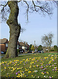 SO9096 : Crocuses in Buckingham Road, Penn, Wolverhampton by Roger  Kidd