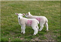 TQ9963 : Twins at Luddenham Court Farm by pam fray