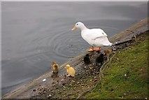 TL0506 : Duck by river , Hemel Hempstead town centre by Debbie Willcox