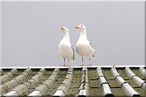 HU4642 : Roof-top gulls, Holmsgarth, Lerwick by Mike Pennington