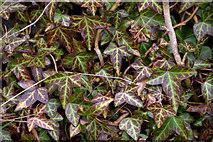 HU4642 : Common Ivy (Hedera helix), Lerwick by Mike Pennington