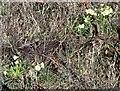 SO8942 : Primroses in flower in March by Bob Embleton
