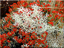 NN5760 : Cladonia lichens (crotal) by Dr Richard Murray