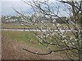 SW8160 : Blackthorn blossom (Prunus spinosa) by Rod Allday