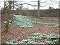 NY6128 : Bank of snowdrops by Barry Boxer