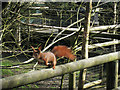 TQ3643 : Red Squirrel at British Wildlife Centre by Oast House Archive