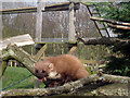 TQ3643 : Pine Marten at British Wildlife Centre, Lingfield by Oast House Archive