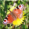 SO6910 : Peacock butterfly (Inachis io) on dandelion by Pauline E