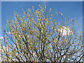TM3899 : Willow catkins by Evelyn Simak
