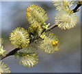 TM3899 : Willow catkins (close-up) by Evelyn Simak