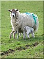 SD2986 : Hungry lambs at Lowick by Maigheach-gheal