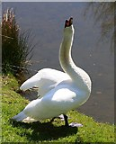 TL8425 : Swan at Markshall by Peter French