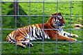 TL3948 : Rana the Bengal tiger by Tiger