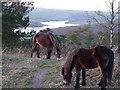 SS9628 : Exmoor : Brendon Hills - Haddon Hill & Exmoor Ponies by Lewis Clarke