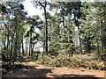 SJ7964 : Pine trees and sunshine by Jonathan Kington