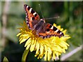NZ1265 : Small Tortoiseshell (Aglais urticae) by Andrew Curtis