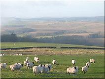 NY5676 : Sheep grazing near Park Head by Mike Quinn