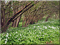 TQ4518 : Wild Garlic next to River Uck by Oast House Archive