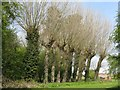 SP8280 : Pollarded willows at Rothwell by M J Richardson