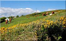 J4893 : Cattle near Whitehead by Albert Bridge
