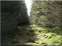 NY6176 : Firebreak in the plantation on Black Rigg (6) by Mike Quinn