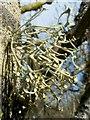 NS3383 : A lichen - Ramalina calicaris by Lairich Rig
