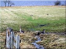NN7958 : Geese beside Loch Tummel by Maigheach-gheal
