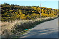 R1274 : Gorse at Coor East by Graham Horn