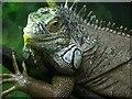 J3280 : Chamelon, Belfast Zoo by Kenneth  Allen