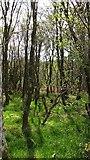 NR8261 : Woodland, Redhouse by Richard Webb