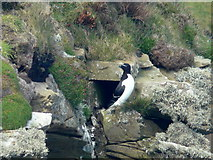 ND2076 : Razorbill at Dunnet Head by sylvia duckworth