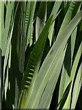 SX8963 : Iris leaves, Cockington valley by Derek Harper