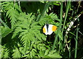 SM9938 : Orange tip butterfly (Anthocharis cardamines) by ceridwen