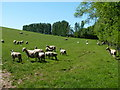 SJ4601 : Sheep pastures west of Netley Old Hall Farm by Richard Law